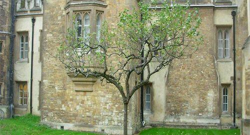 درخت سیب نیوتون
