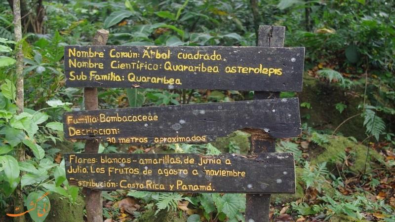 دره درخت های مربعی در پاناما