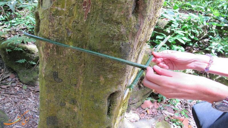 دره درخت های مربعی پاناما