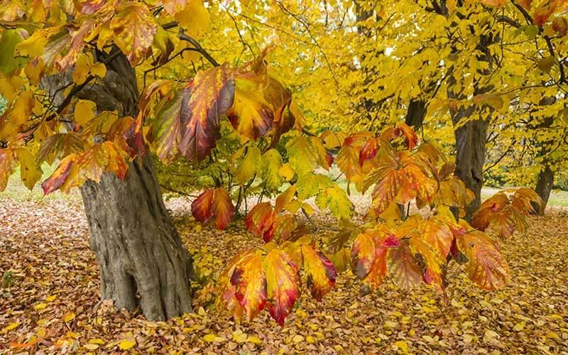 درخت انجیلی در جنگل های هیرکانی