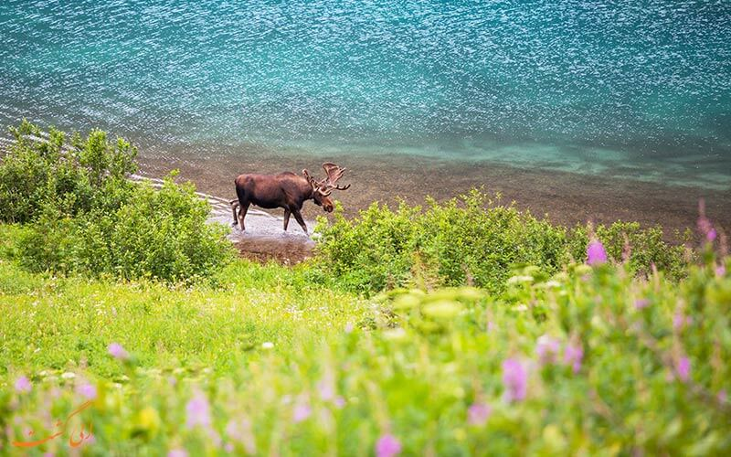 آلاسکا - گوزن شمالی