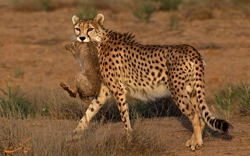 یوز ایرانی و شکار