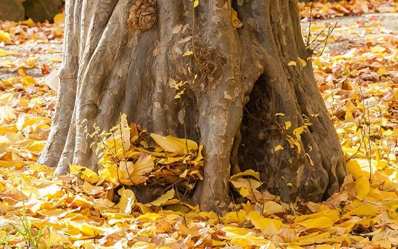 تنه درخت انجیلی
