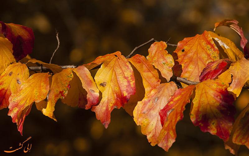 برگ درخت انجیلی در پاییز