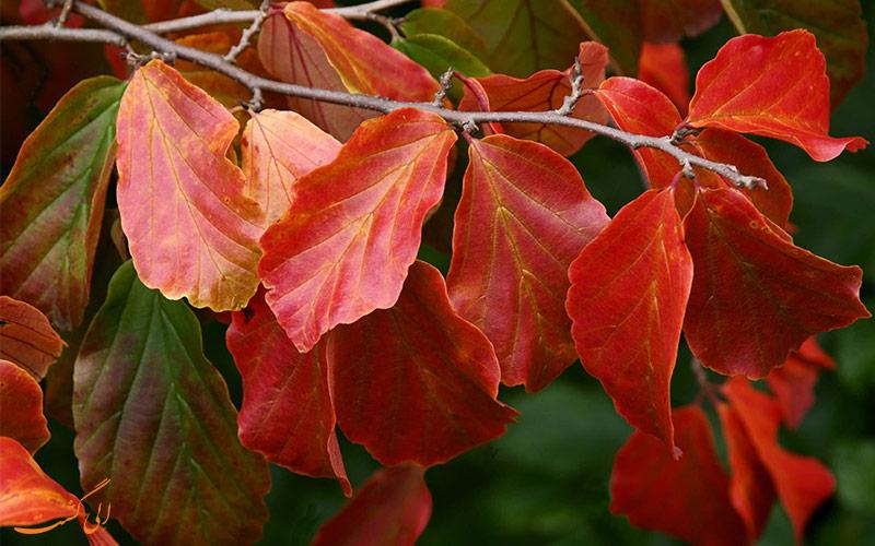 برگ درخت انجیلی