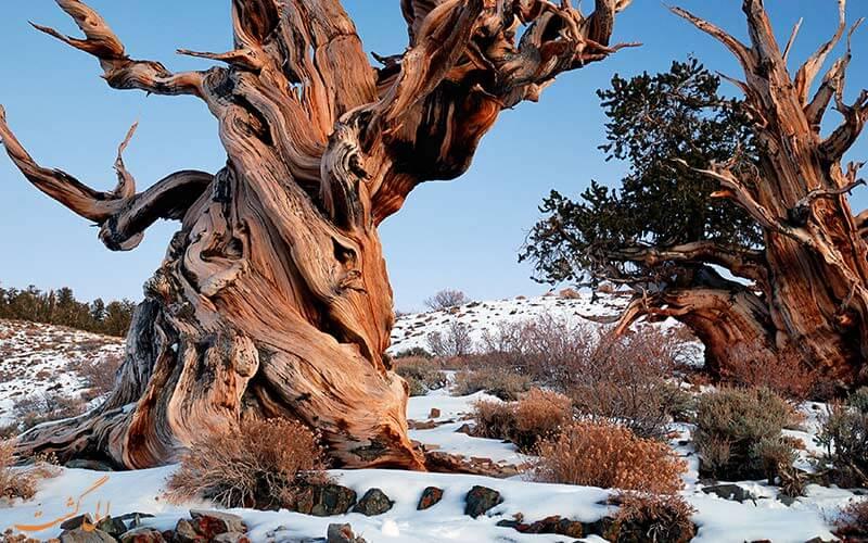قدیمی ترین درخت دنیا