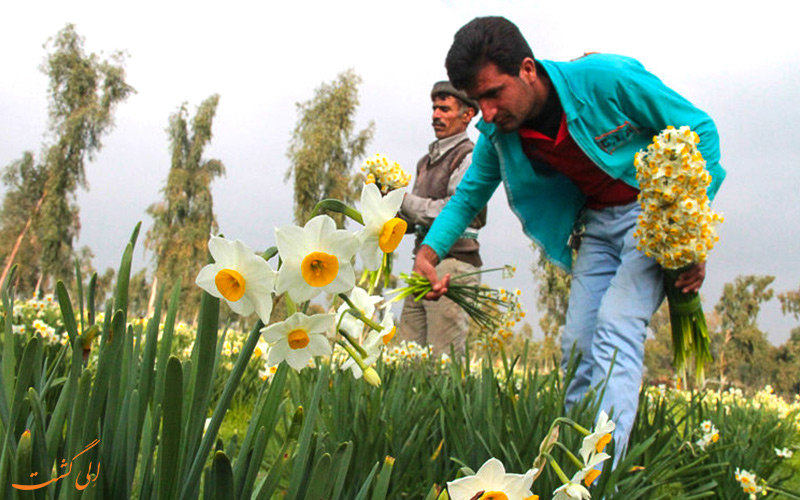 جشنواره گل نرگس در استان بهبهان