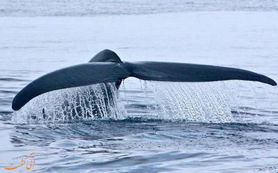 نهنگ آبی تنها