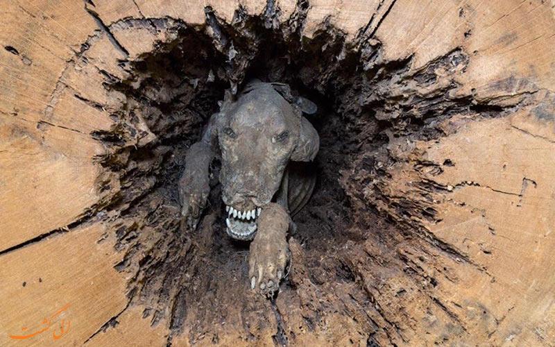 سگی که توسط درخت مومیایی شد