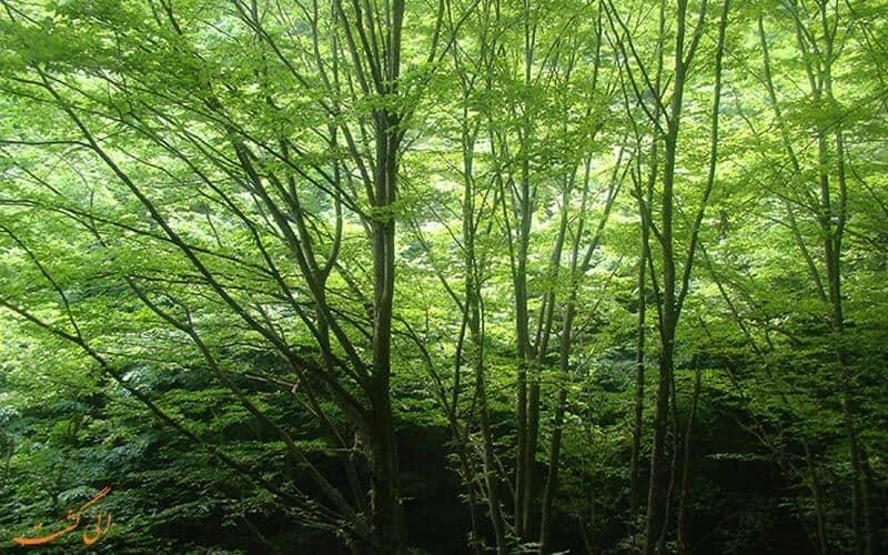 درختان اخلمد