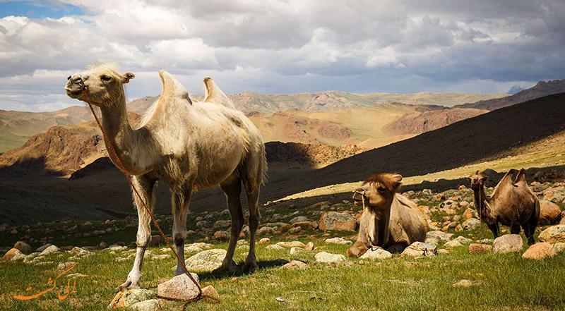 دانستنی های مغولستان | شترهای مغولستان