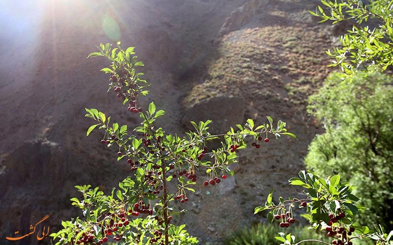 درخت گیلاس روستا آهار