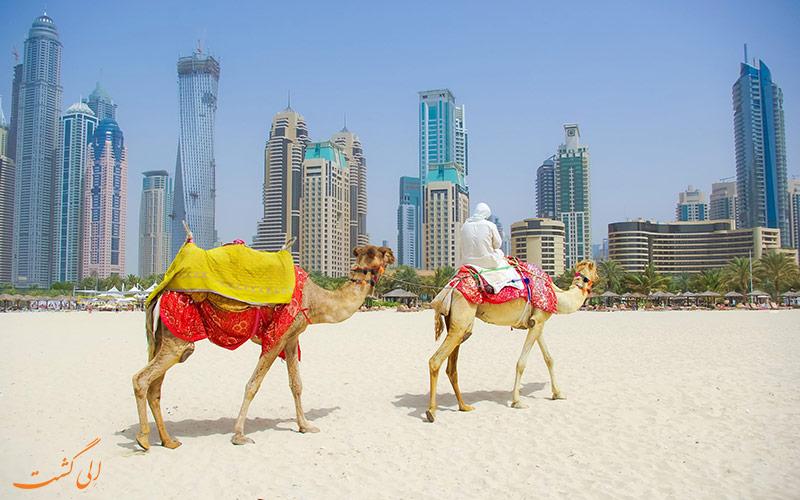 شتر سواری در دبی