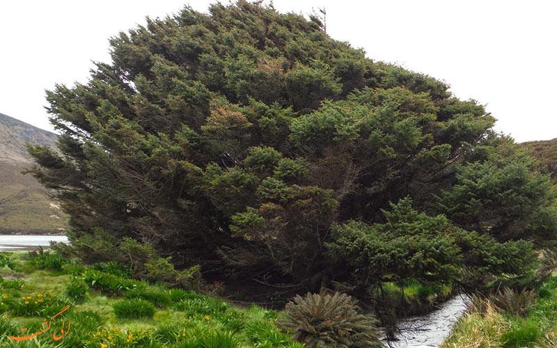 تنهاترین درخت دنیا