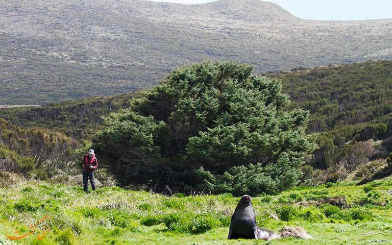 صنوبر سیتکا در نیوزلند