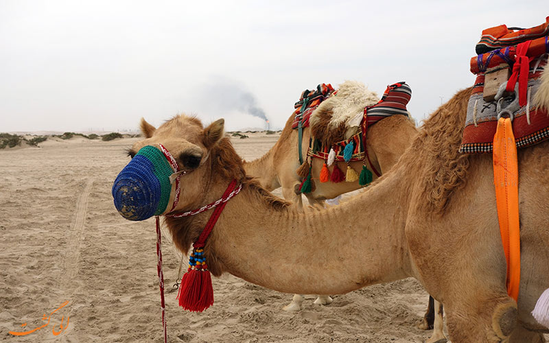 مسیر شترسواری الشحانیا