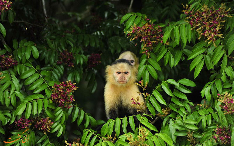 جزیره میمون ها