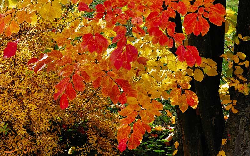 درخت انجیلی- گیاهان نادر ایران