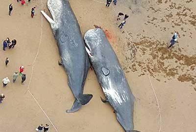 خودکشی نهنگ ها و دلفین ها- الی گشت-whales stranding