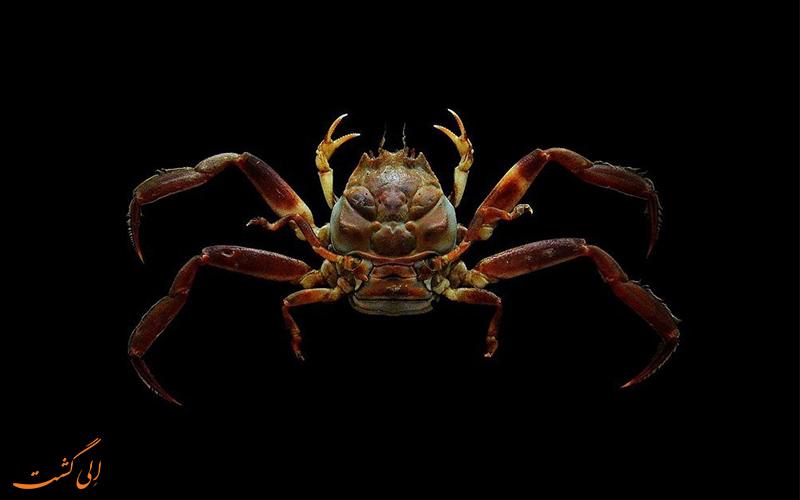 خرچنگ شبیه انسان