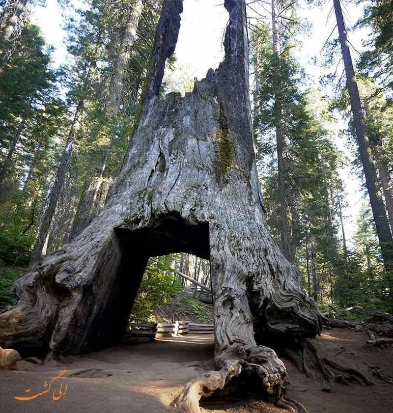 درخت سرخ چوب در کالیفرنیا