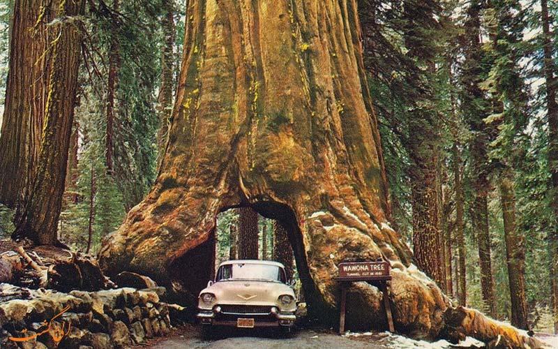 درخت سرخ چوب کالیفرنیا واوونا