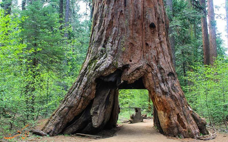 درخت سرخ چوب کالیفرنیا 1880