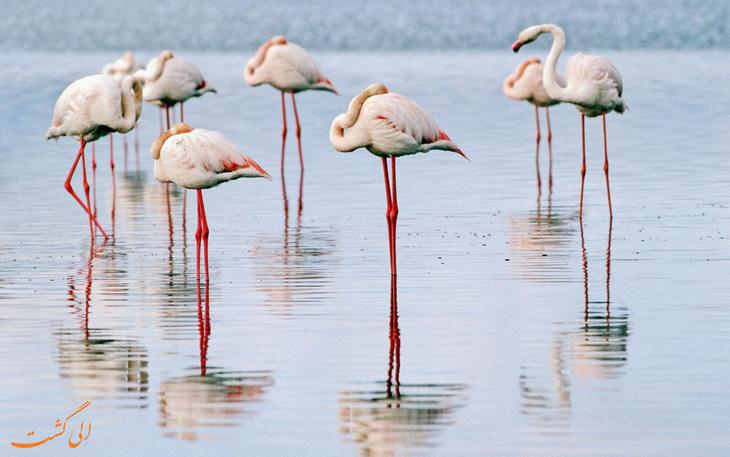 فلامینگو ها در دریاچه ارومیه