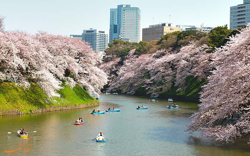 شکوفه های گیلاس باغ های شرقی