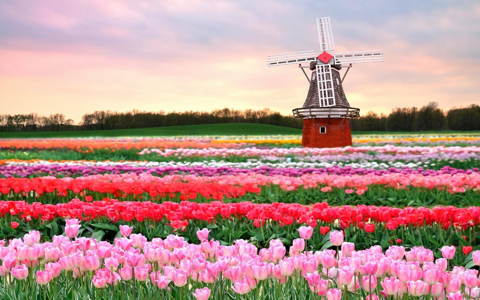 جشنواره گلهای لاله، هلند