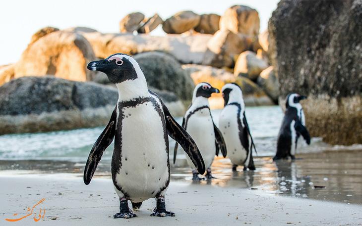 پنگوئن در آفریقا