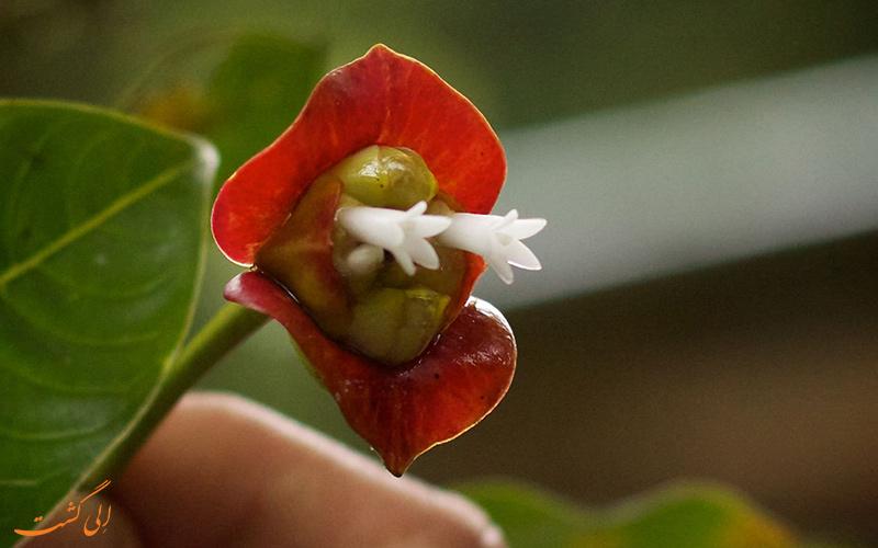 گل سیکوتریا