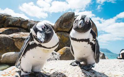 پنگوئن آفریقایی