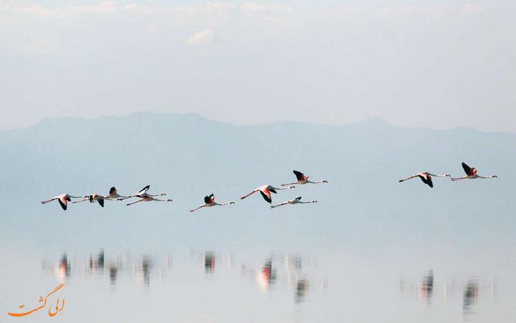مهاجرت فلامینگوها به دریاچه