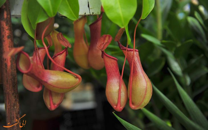 گیاه کوزه ای شکل گرمسیری