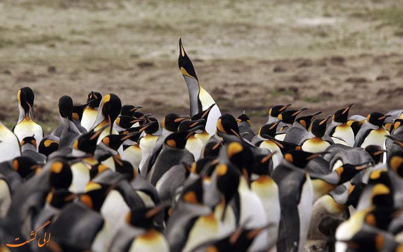 گردشگری-حیات-وحش - پنگوئن امپراتور