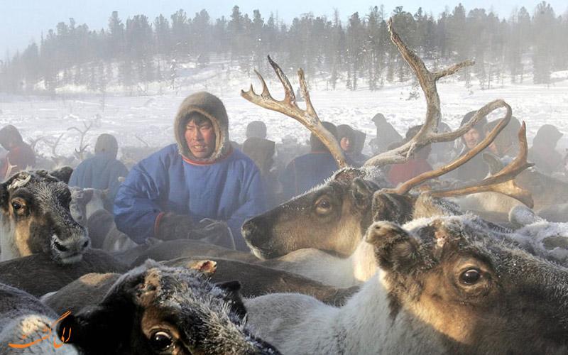 گردشگری-حیات-وحش- گوزن شمالی در روسیه