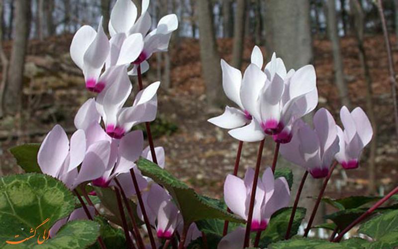 گیاهان بومی ایران - گل نگونسار