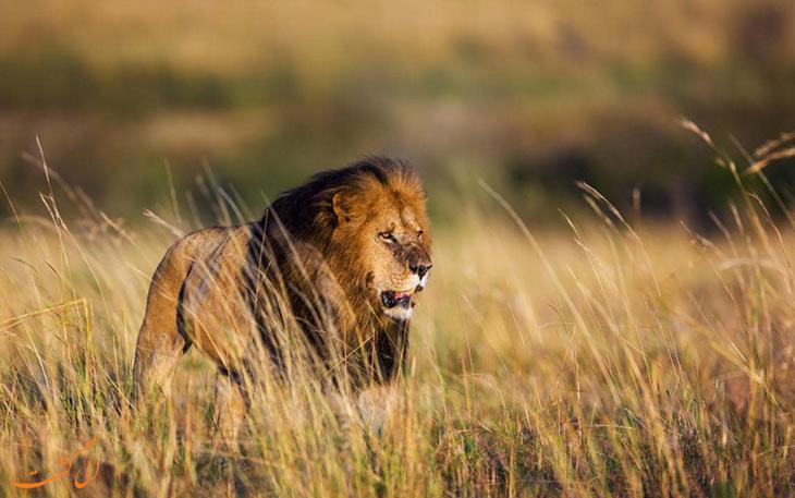 خانواده شیرها در ماسایی مارا