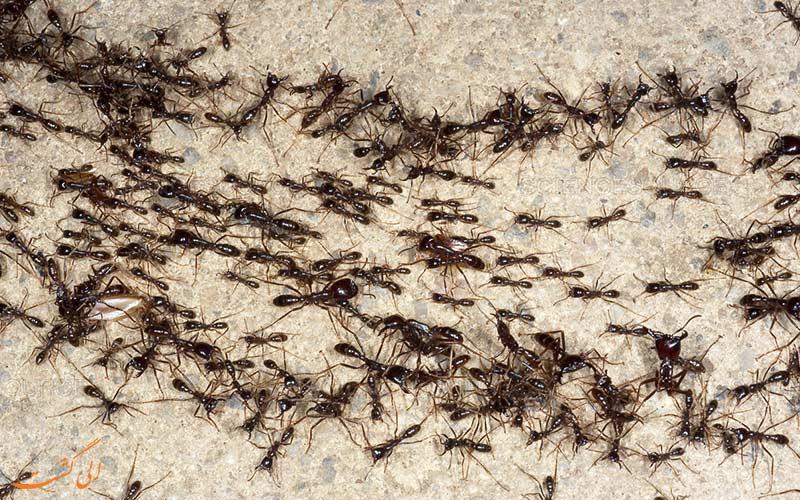 مورچههای راننده