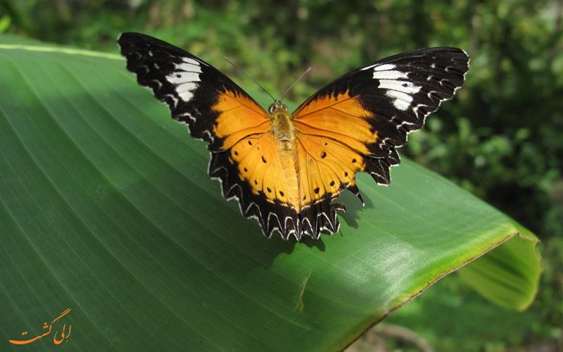 مرکز پروانه بانتئی سری