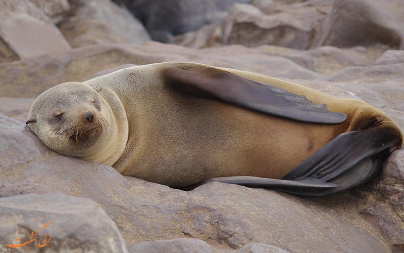 فک خزپوش کیپ (Cape fur seals)