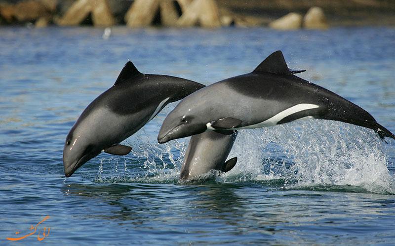 دلفین هکتور