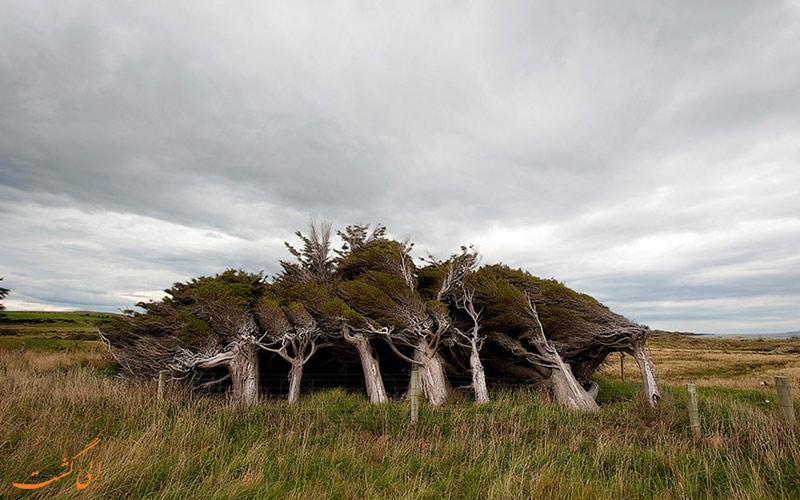 درختان نیوزلنددرختان نیوزلند