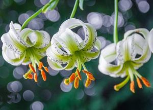 گیاهان بومی ایران - الی گشت