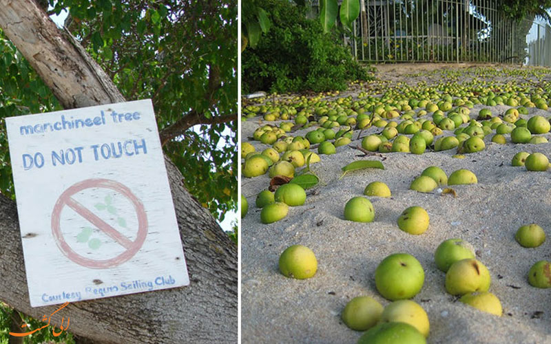 خطرناک ترین درخت دنیا