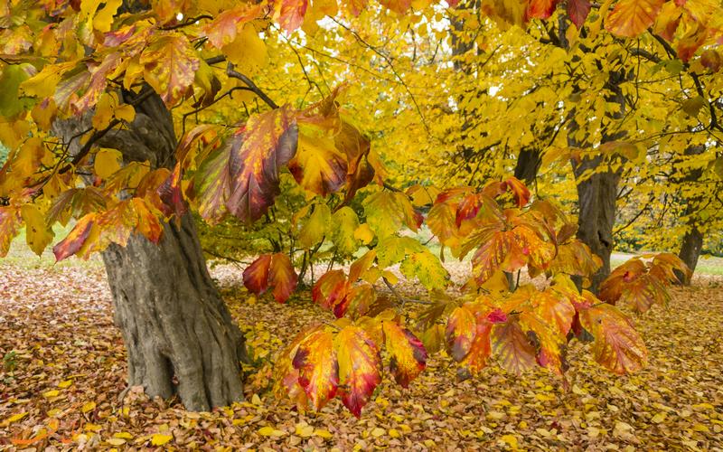 درخت انجیلی - گیاهان بومی ایران