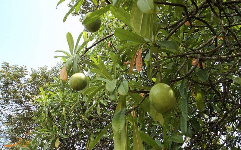 میوه درخت