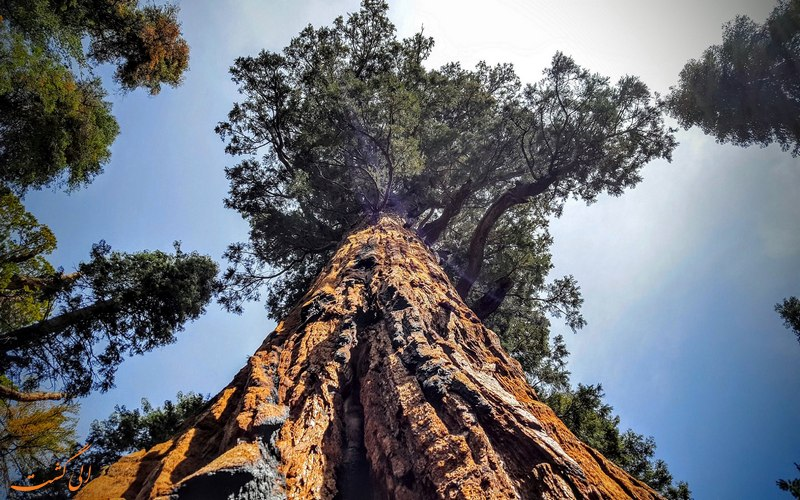 درخت غول پیکر 3200 ساله رئیس جمهور