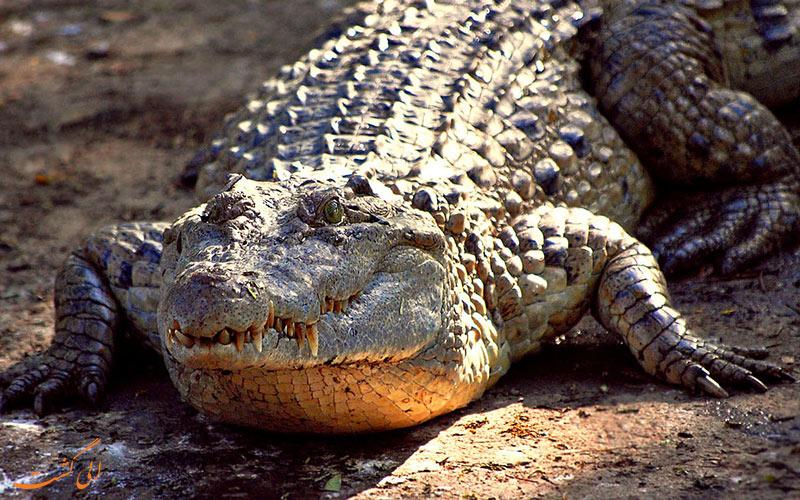 تمساح فیلیپینی